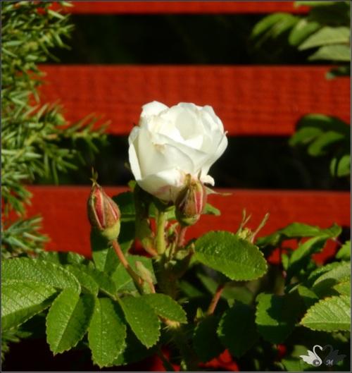 valkea_ruusu